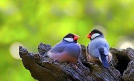 Uccello di Java Sparrow fotografia stock