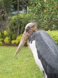 Uccello di javanicus di Lesser Adjutant Leptoptilos in Indonesia Fotografia Stock