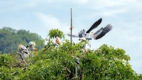 Uccello di Kabbaw sulla parte superiore di albero Fotografie Stock
