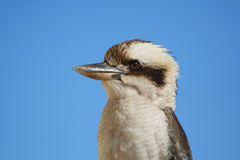 Uccello di Kookaburra Fotografia Stock Libera da Diritti