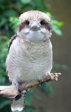 Uccello di kookaburra Immagini Stock Libere da Diritti