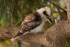 Uccello di Kookaburra Fotografie Stock Libere da Diritti