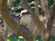 Uccello di kookaburra in albero calvo fotografia stock libera da diritti