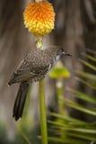 Uccello di Lesser Wattle Fotografia Stock