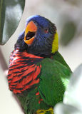 Uccello di Lorikeet Fotografie Stock Libere da Diritti