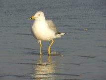 Uccello di mare che guada nella spuma Fotografia Stock