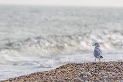 Uccello di mare isolato Gull la condizione sulla spiaggia che guarda fuori attraverso fotografie stock