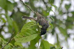 uccello di mavis che cerca l'alimento sull'albero Immagine Stock