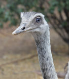 Uccello di nandù Fotografie Stock Libere da Diritti