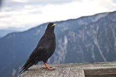 Uccello di Oscine che si siede su un corrimano in un ristorante nelle alpi austriache Fotografie Stock Libere da Diritti