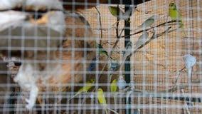 Uccello di pappagallino ondulato o uccelli di undulatus del Melopsittacus in scatola della gabbia video d archivio