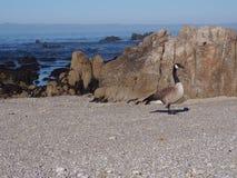 Uccello di Piños del punto Immagine Stock Libera da Diritti