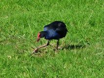 Uccello di Pukeko Fotografie Stock