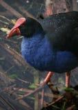 Uccello di Pukeko Fotografie Stock Libere da Diritti