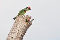 Uccello di rame del Barbet dello Smith Immagine Stock Libera da Diritti