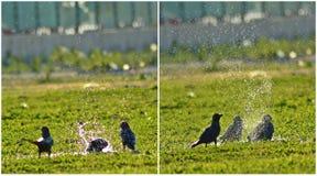Uccello di Raven Immagini Stock