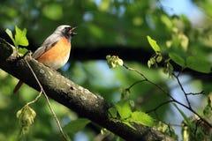 Uccello di Redstart Fotografia Stock