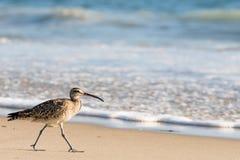 Uccello di riva del chiurlo piccolo che cammina sulla fine della spiaggia su Fotografie Stock