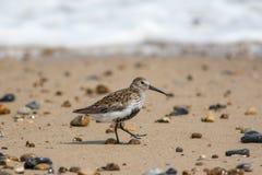 Uccello di riva del Dunlin che cammina sulla spiaggia Lif costiero dell'uccello della spiaggia Fotografia Stock