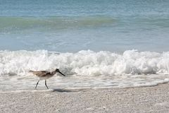Uccello di riva del piovanello che cammina nell'oceano sulla spiaggia Fotografia Stock Libera da Diritti