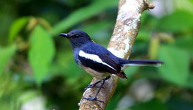 Uccello di Robin della gazza in Malesia fotografia stock libera da diritti