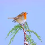 Uccello di Robin di inverno Fotografia Stock Libera da Diritti