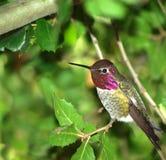 Uccello di ronzio fotografie stock libere da diritti