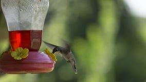 Uccello di ronzio Immagini Stock Libere da Diritti
