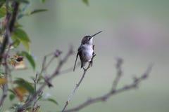 Uccello di ronzio Immagine Stock