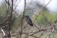 Uccello di ronzio in albero immagine stock libera da diritti