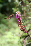 Uccello di ronzio che beve da un fiore Fotografia Stock