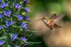 Uccello di ronzio che si alimenta dai fiori fotografia stock libera da diritti