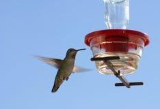 Uccello di ronzio dall'alimentatore Fotografie Stock Libere da Diritti