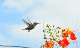 Uccello di ronzio durante il volo Fotografia Stock