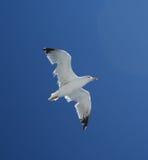 Uccello di Seagul in mosca Immagine Stock