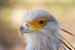 Uccello di segretaria Fotografie Stock Libere da Diritti