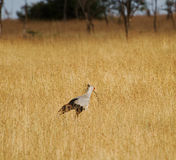 Uccello di segretario Fotografie Stock Libere da Diritti