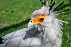 Uccello di segretario Fotografia Stock Libera da Diritti