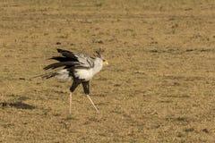 Uccello di segretario sulle pianure africane Fotografia Stock Libera da Diritti