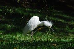 Uccello di sguardo divertente - egret Immagine Stock