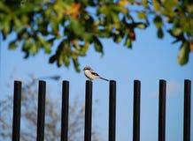 Uccello di Shrike su fencepost Fotografie Stock Libere da Diritti
