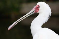 Uccello di Spoonbill immagine stock