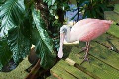 Uccello di Spoonbill roseo Fotografie Stock Libere da Diritti