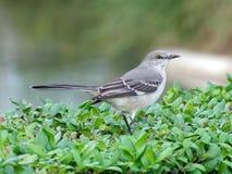 Uccello di stato di Florida - mimo nordico Fotografia Stock Libera da Diritti