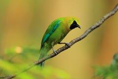 Uccello di Sunbird Immagine Stock Libera da Diritti