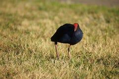 Uccello di Swamphen Pukeko Fotografie Stock Libere da Diritti