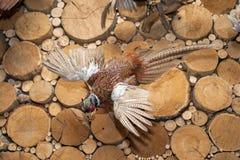 Uccello di tassidermia Fotografia Stock Libera da Diritti