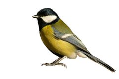 Uccello di Tomtit isolato su bianco Fotografia Stock