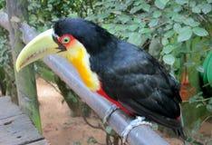 Uccello di Toucan Fotografia Stock