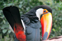 Uccello di Toucan Immagini Stock Libere da Diritti